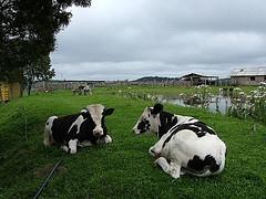 vacas-locas